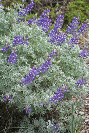 Silver Lupine (Lupinus albifrons) Photo: Tracy Drake