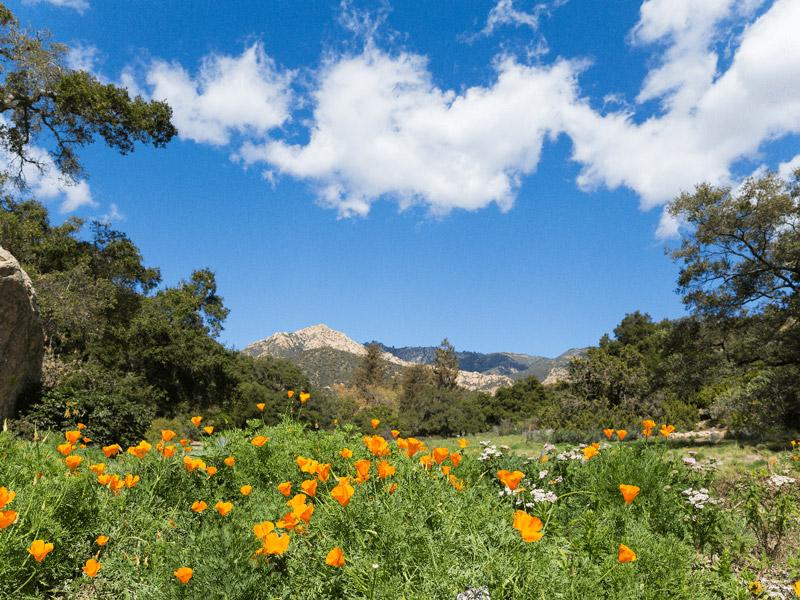 Santa Barbara Botanic Garden meadow. Credit Kristen Hehnke.