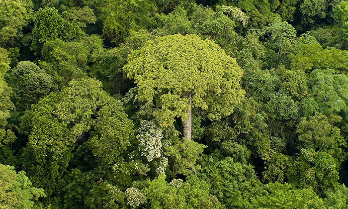 The amazon rainforest is the largest tropical jungle in the world, containing some of the most biodiverse plants species in the world. Why A Simple Law Governs Tropical Rainforest Trees