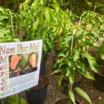 Botanic Park celebrates mangoes