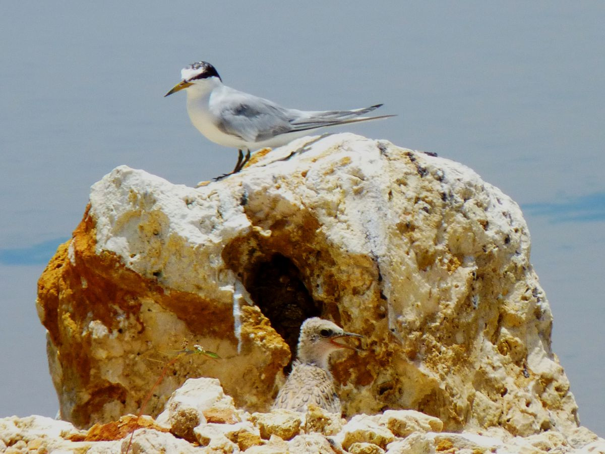 Young least tern at Malportas Pond