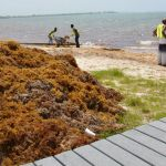 NiCE workers tackle sargassum on beaches