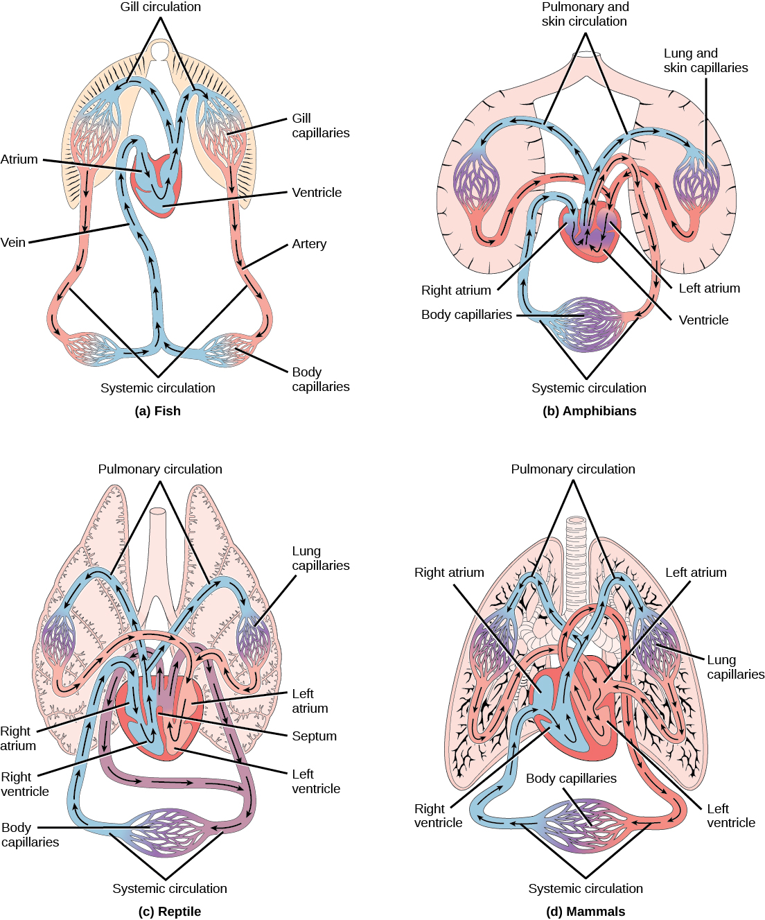 Overview Of The Circulatory System