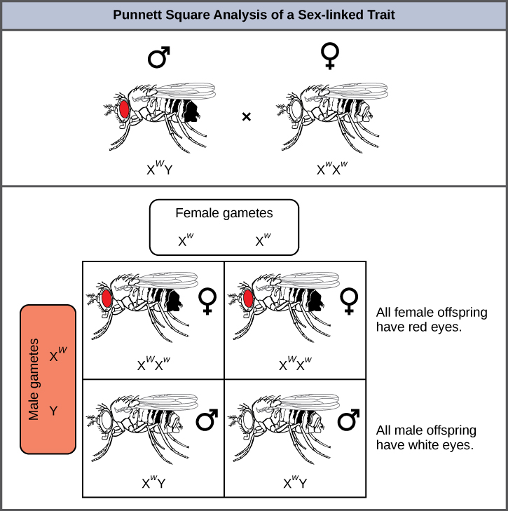 Fruit Vs Female Male Fly