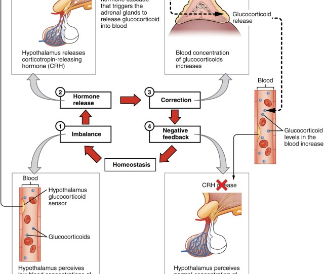 This Diagram Shows A Negative Feedback Loop Using The Example Of Glucocorticoid Regulation In The Blood