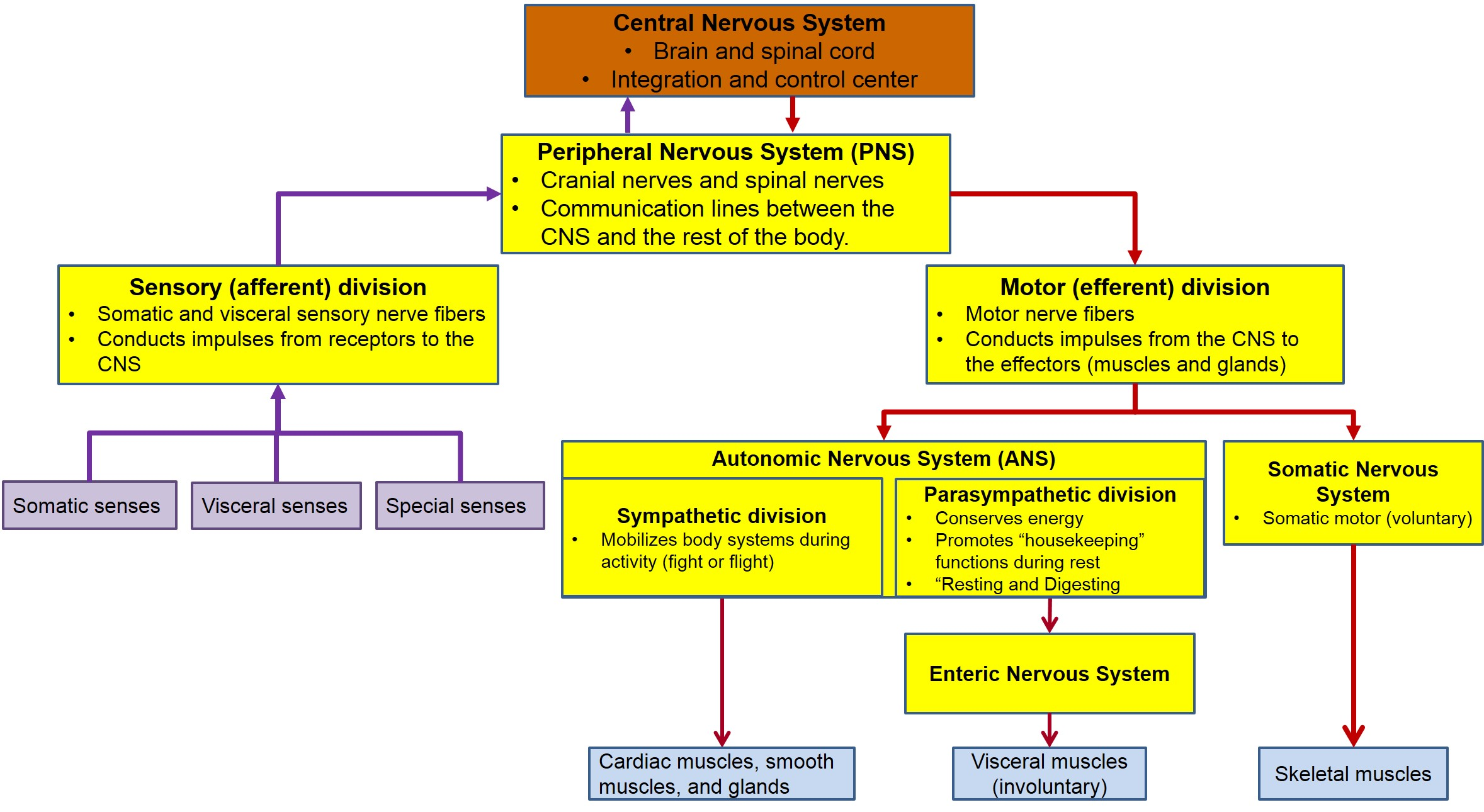 Motor Division Of The Peripheral Nervous System