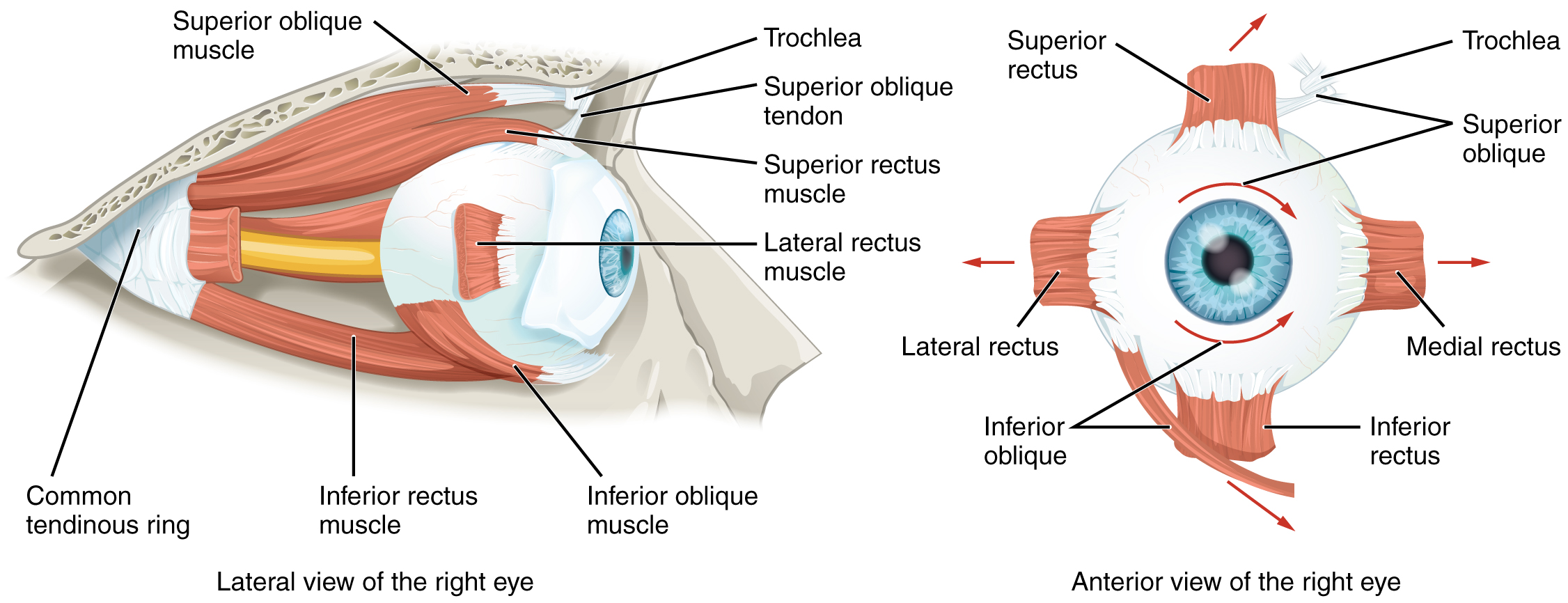 Special Senses Anatomy Of The Eye