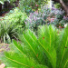 Cycas Revoluta, Japanese Cycad is pretty and less thorny than our local Cycads thumbnail