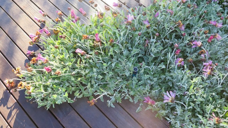 Gazania invades the deck