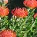 Pincushions thumbnail