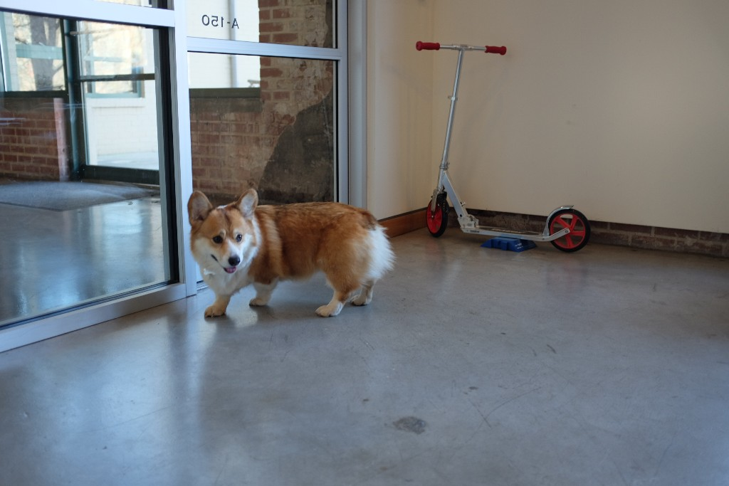 Corgi on patrol