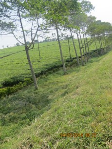 New shade trees planted around the tea plantation