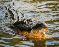 alligator-439890_960_720