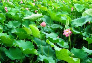 lotus-lac