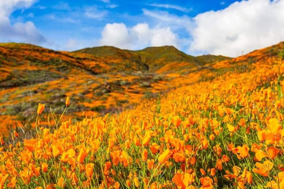So Many Poppies Todays California Coachella Valley