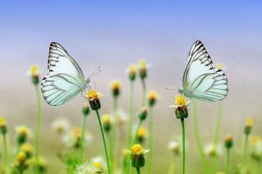 zwei Schmetterlinge auf Blumen