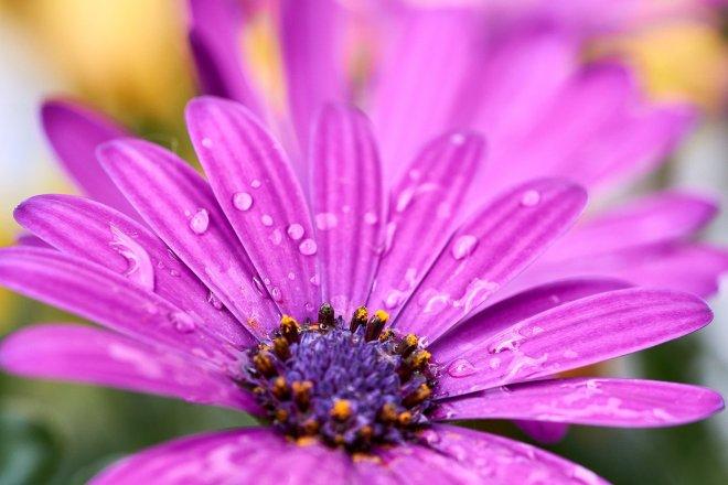 rosa Blüte in Nahaufnahme mit Tautropfen