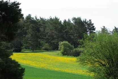 gelbe-Wiese-und-Waldrand