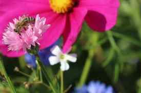 Biene-auf-rosa