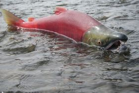 Wild salmon may not be as wild as you think