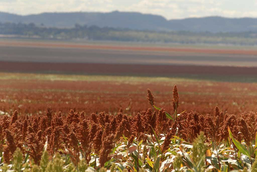 Sorghum in the foreground of wideshot of farmland on the Liverpool Plains