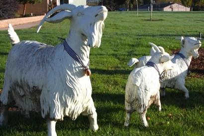 coastal/goats