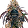 Blueberry autoflower cannabis plant