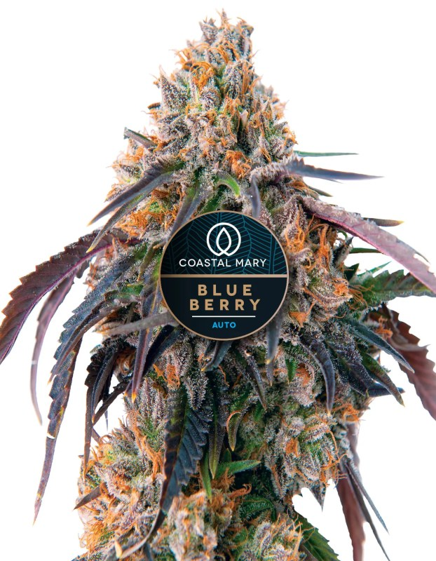 Blueberry autoflower cannabis plant