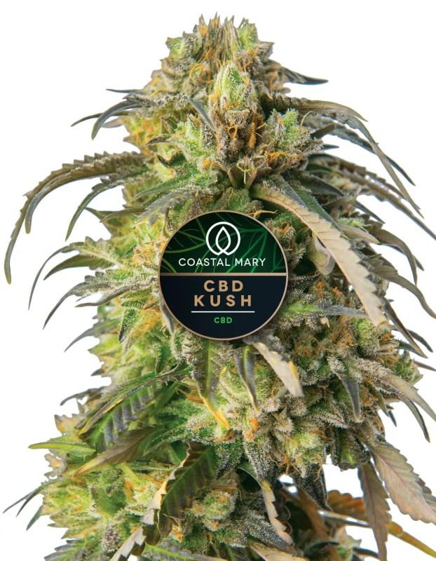 CBD Kush feminized cannabis plant