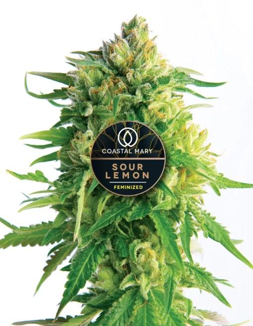 Sour Lemon feminzed plant