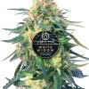 White Widow feminized Cannabis seeds