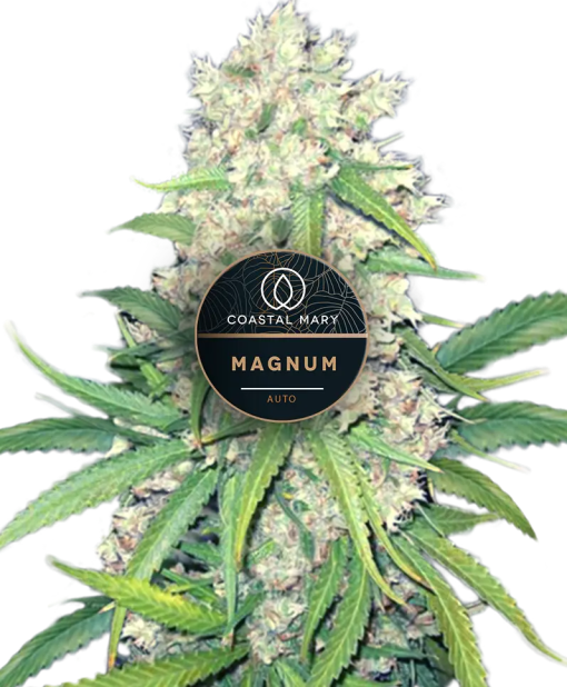 Magnum autoflower feminized plants for Coastal Mary seeds