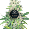 Magnum autoflower feminized plants for Coastal Mary seeds