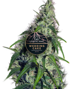 Wedding Cake Autoflowerfeminized for Coastal Mary Seeds