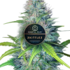 Zkittlez feminized for Coastal Mary Seeds