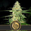 Original Clon Feminized Cannabis seeds
