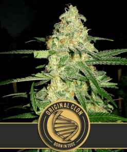 Original Clon Feminized Cannabis seeds