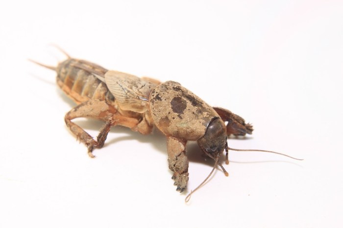 MOLE cricket control gulf shores, al