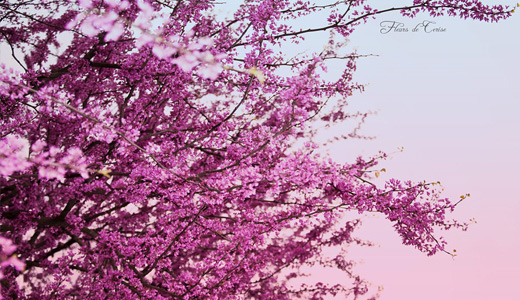 16-beautiful-pink-cherry-blossom-wallpapers-free