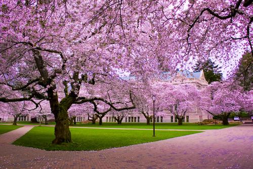 Cherry-Blossom-Tree-trees-19838733-500-333