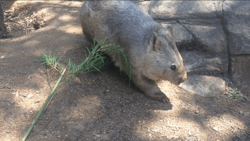 A wombat up close