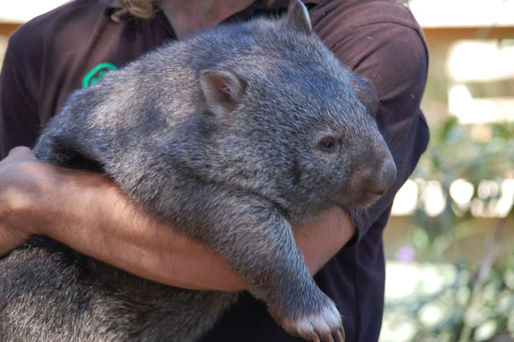 A wombat at Bonorong Wildlife Sanctuary