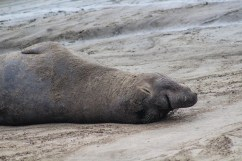 Female elephant seal [photo: Dawn Page]