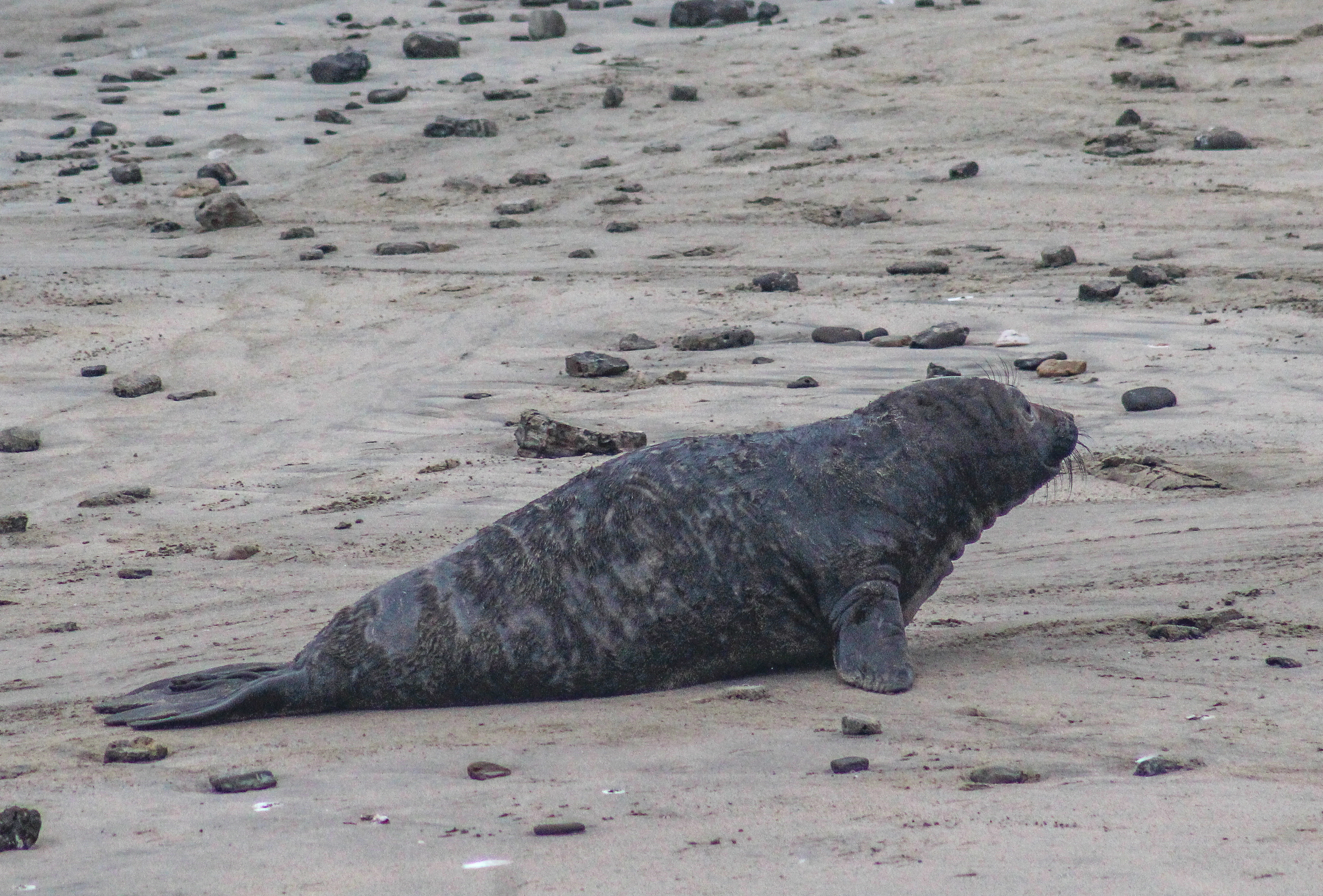 Baby elephant seal [photo: Dawn Page]