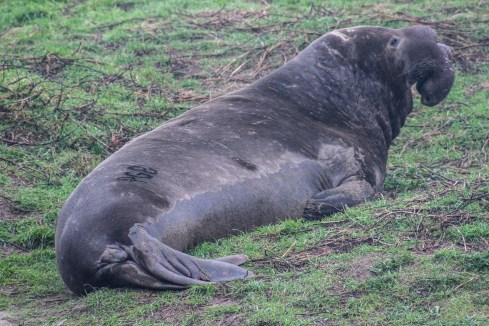 Bull elephant seal [photo: Dawn Page]
