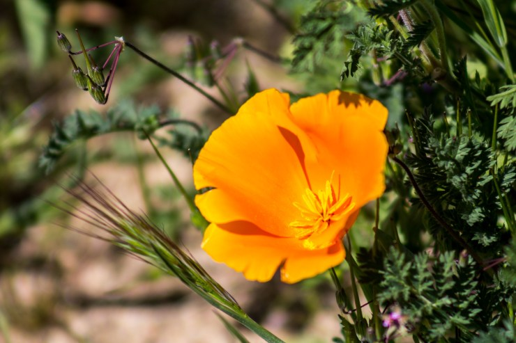 Antelope Valley Poppy Reserve/Dawn Page/CoastsideSlacking