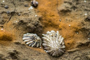 Shells in the bluff walls at Fitzgerald Marine reserve in Moss Beach. Dawn Page/CoastsideSlacking