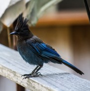 Steller's Jay at Big Sur River Inn. Dawn Page/CoastsideSlacking.