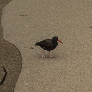 Black Oystercatcher, which is common along the Pacific Coast.