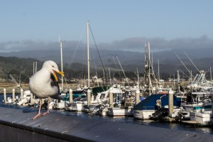 Annoyed gull at Pillar Point Harbor. Dawn Page/CoastsideSlacking